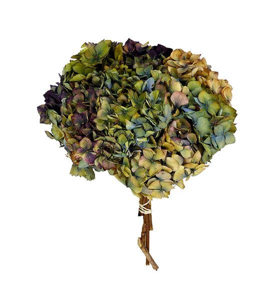 Hortensia seca bicolor - HORSECBIC