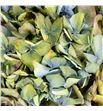 Hortensia seca bicolor - HORSECBIC1