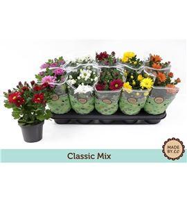 Pl. crisantemo mixto 5kl 25cm x10 - CRIMIX5101225
