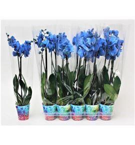 Pl. phalaenopsis azul 2t 70cm x10 - PHAAZU1012702