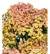 Achilea lachsschonheit 60 - ACHLAC1