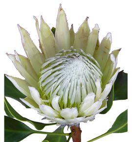 Protea artic ice 60 - PROCYNFULMOO