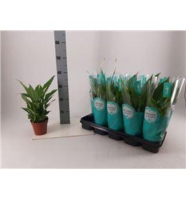 Pl. spathiphyllum torelli 40cm x10 - SPATOR101240