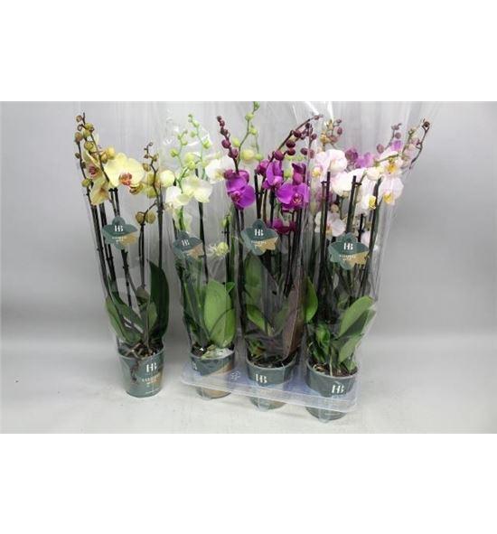 Pl. phalaenopsis mixta 4kl 5t 60cm x6 - PHAMIX46605