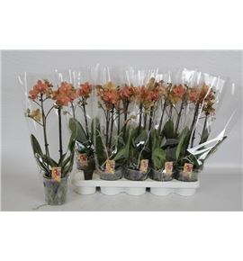 Pl. phalaenopsis orange 2t 50cm x10 - PHAORA1012502