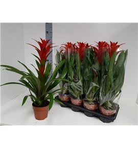 Pl. guzmania amoretto 60cm x8 - GUZAMO81360