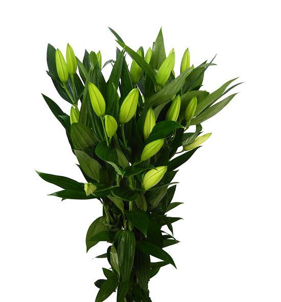 Lilium oriental hol zambessi 100 - LOHZAM