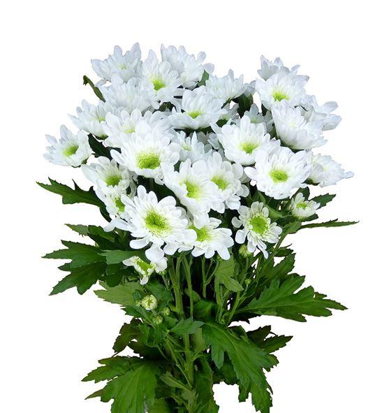 Marg hol radost blanca - MHRAD