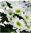 Marg hol radost blanca - MHRAD1