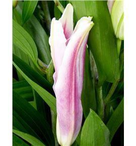 Lilium oriental hol mero star 100 - LOHMERSTA