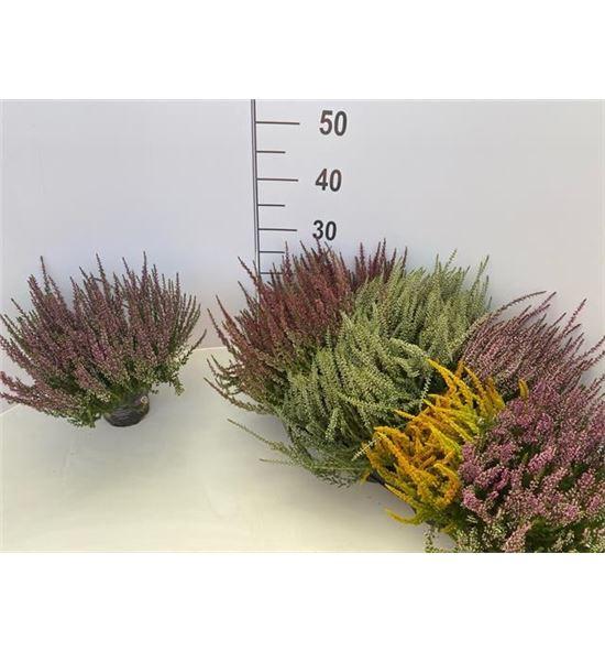 Pl. calluna garden 22cm x8 - CALGAR251222