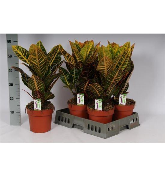 Pl. codiaeum petra 60cm x5 - CODPET51960
