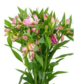 Alstroemeria hol. rosa - ALSHROS