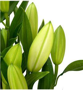 Lilium oriental hol santander 90 - LOHSAN