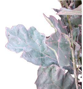 Quercus rosa - QUEROS