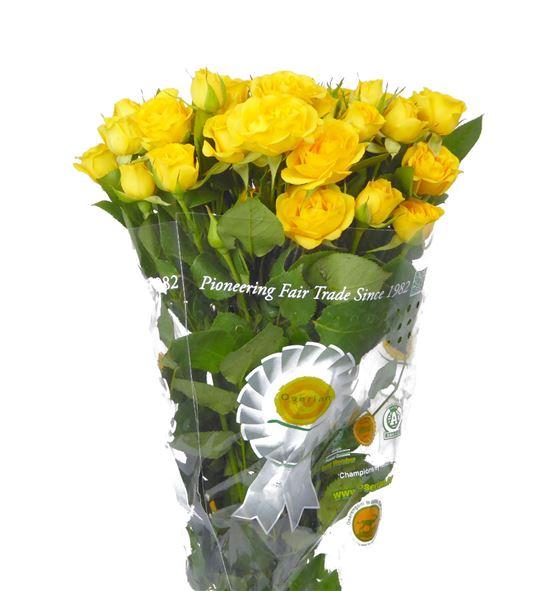 Rs ramificada yellow babe 40 - RTRYELBAB