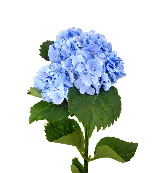 Hydr lolly pop azul 60 - HYDLOLPOPAZU