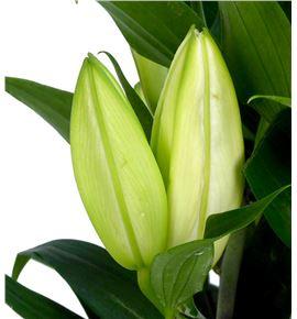Lilium oriental hol pacific ocean 95 - LOHPACOCE