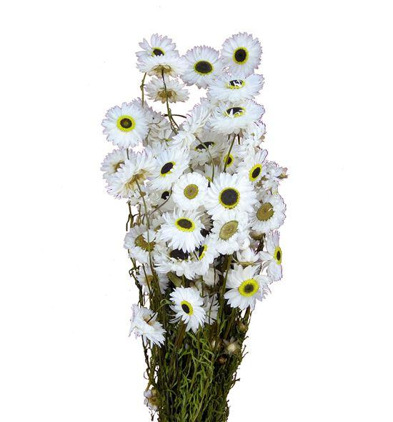 Acroclinium seca blanca - ACRSECBLA