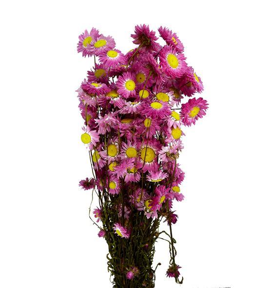 Acroclinium seca rosa - ACRSECROS