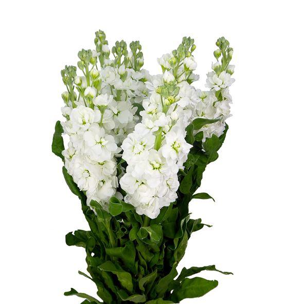 Matthiola centum white 55 - MATCENWHI