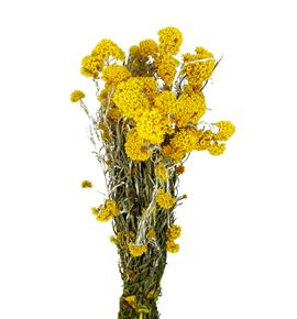 Sanfordii seca amarilla - SANSECAMA