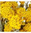 Sanfordii seca amarilla - SANSECAMA1