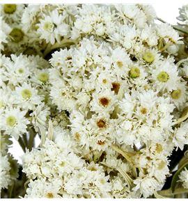 Anaphalis seca blanca - ANASECBLA