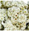 Anaphalis seca blanca - ANASECBLA1