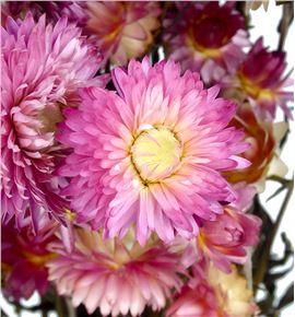 Helichrysum seco rosa - HELSECROS
