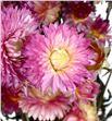 Helichrysum seco rosa - HELSECROS1