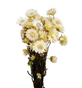 Helichrysum seco blanco - HELSECBLA