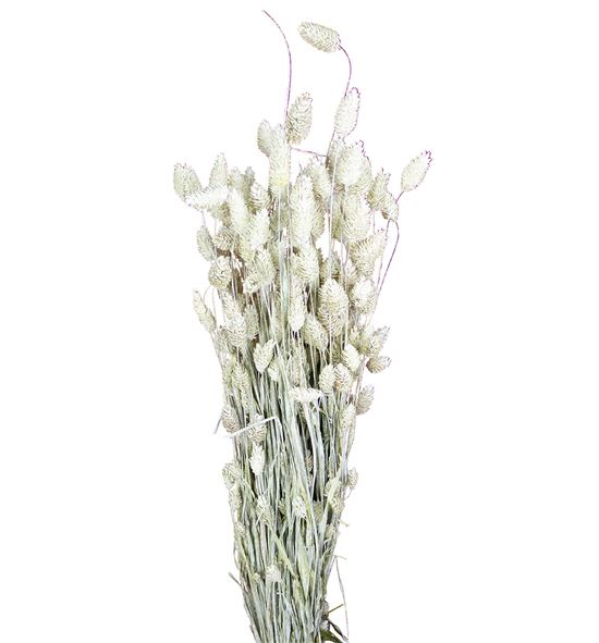 Phalaris blanco - PHABLA