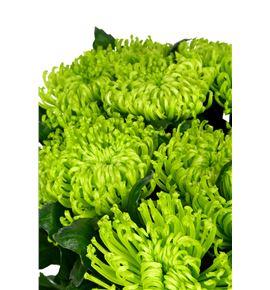 Cr anastasia dark green 70 - CRGANADARGRE