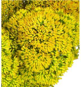Sedum nac tint amarillo - SEDAMAN