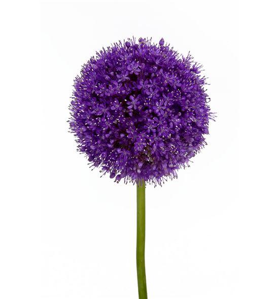 Allium giganteum 65 - ALLGIG