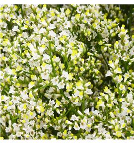 Limonium mountain diamond 70 - LIMMOUDIA