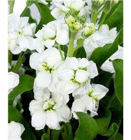 Matthiola jordyn white 50 - MATJORWHI