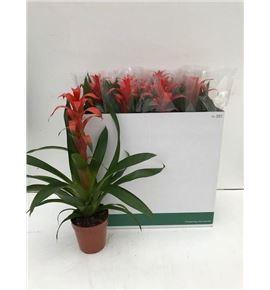 Pl. guzmania allure 65cm x8 - GUZALL81565