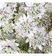 Astrantia million star 40 - ASTMILSTA2