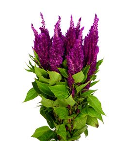 Celosia sunday bright pink 60 - CELSUNBRIPIN