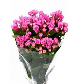 Bouvardia royal roza 40 - BOUROYROZ