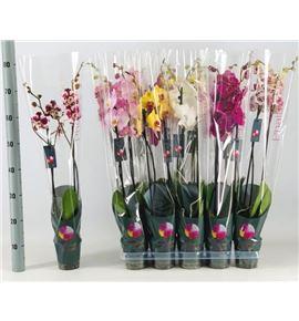 Pl. phalaenopsis mixta 7kl 2t 75cm x10 - PHAMIX71012752
