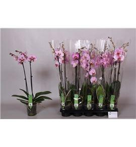 Pl. phalaenopsis rosa 2t 65cm x10 - PHAROS1012652