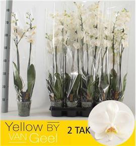 Pl. phalaenopsis white 2t 75cm x10 - PHAWHI1012752