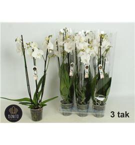 Pl. phalaenopsis white 3t 65cm x6 - PHAWHI612653