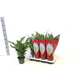 Pl. spathiphyllum sweet chico 55cm x8 - SPASWECHI81355