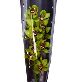 Cymbidium green art x6 - CYMBGREART2