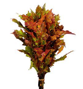 Quercus otoñal - QUEOTO