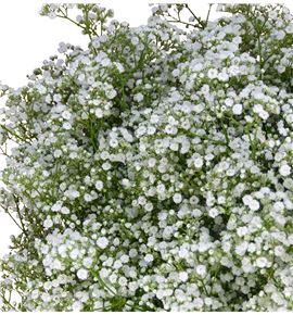 Paniculata millon - PMIL